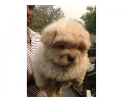 THE BEST BREED PUPPIES CHOW CHOW PUPPIES MALE AND FEMALE FOR SALES@ DELHI 9555944924