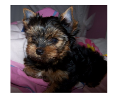 THE BEST BREED PUPPIES YORKSHIRE TERRIER PUPPIES MALE AND FEMALE FOR SALES@ DELHI 9555944924