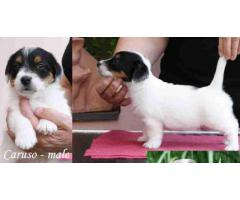THE BEST BREED PUPPIES JACK TERRIER PUPPIES MALE AND FEMALE FOR SALES@ DELHI 9555944924
