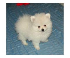 THE BEST BREED PUPPIES SPITZ PUPPIES MALE AND FEMALE FOR SALES@ DELHI 9555944924