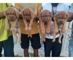 French mastiff pure breed available 8368241911