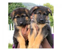 Healthy Puppies Superb Quality German shepherd available Call On This Number 9555944924