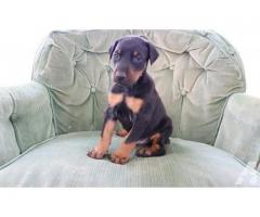 Doberman Puppy is waiting for you to take.  Trustdogsales 9899803008.