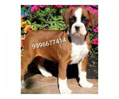 Champion blood Boxer Pup Available for sale