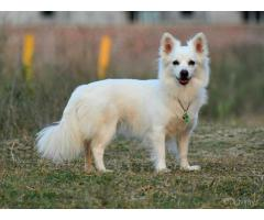 Spitz Puppy is waiting for you to take.  Trustdogsales 9899803008.