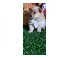 Best Toy Breed Cream Pomeranian Ready To Move