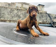 Top quality brown and Tan male Doberman male puppy available contact number:7904034541