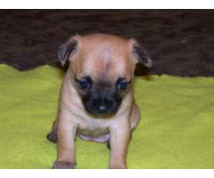 The Purebred Pup of Chihuahua Puppies available on Best Cost in Delhi NCR - 9555944924