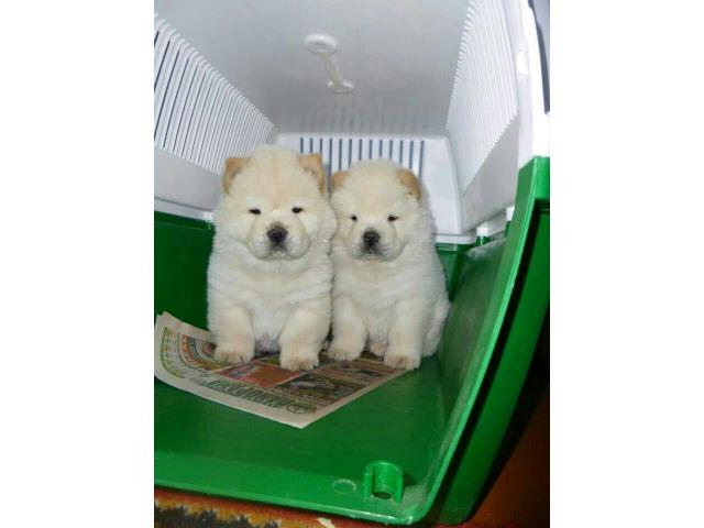 The Purebred Pup of Chow Chow Breed Puppies available on Best Cost in Delhi NCR - 9555944924