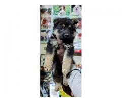 GERMAN SHEPHERD PUPPS ARE READY TO SHOW NEW HOMES CERTIFIED