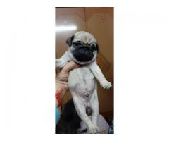 Loveable Cute Active Charming PUG Pupps Feel Free To Call 9205546224