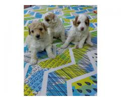 Loveable Cute Active Charming POODLE Pupps Feel Free To Call 9205546224