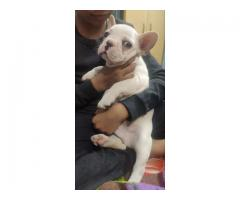Loveable Cute Active Charming FRENCH BULLDOG Pupps Feel Free To Call 9205546224