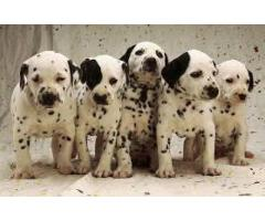 Dalmitian puppies for sale at Pets Farm  offers Best quality Dalmitian