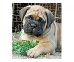 lineup Bull Mastiff puppies for sale at Pets Farm  offers Best quality