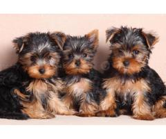 KCI Registered Yorkshiere Terrier puppies for sale through all over India