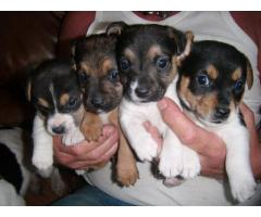 Jack Russell Pups Ready Now For Sale Call Me. 9654249090,8810523600