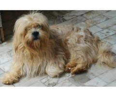 Lhasa Apso Pups Available Here Trust Dogs Kennel