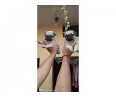 PUG PUPPS ARE WAITING YOU CALL ME 9205546224