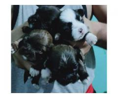 LHASA APSO PUPPS ARE WAITING YOU CALL ME 9205546224