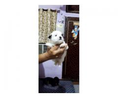 HAVANESE PUPPS ARE WAITING YOU CALL ME 9205546224