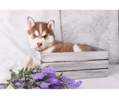 RED AND WHITE HUSKY MALE AND FEMALE PUPPY AVAILABLE