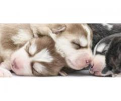 RED AND WHITE BLUE EYES SIBERIAN HUSKY MALE AND FEMALE PUPPY AVAILABLE