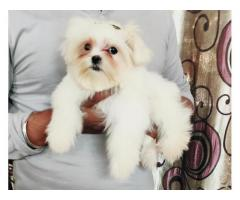 9716575323 Mind Blowing Maltese male female pups available