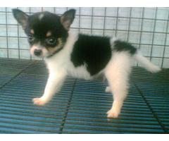Impressive Quality Chihuahua Breed Top Quality Puppies Available New Bone 9555944924