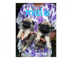 Good Quality Pug Pups available Here!  Trustdogsales 9899803008.