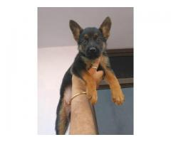 VACCINED AND DEWORMED FULLY CERTIFIED GERMAN SHEPHERD PUPPS