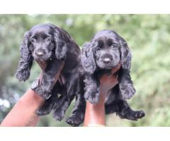 Cocker spaniel female PUPPIES available