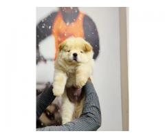 9716575323 Lion Look Chow chow pups available