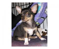 TOP QUALITY CHIHUAHUA PUPPIES AVAILABLE FOR SALE IN DELHI@ 9911293906