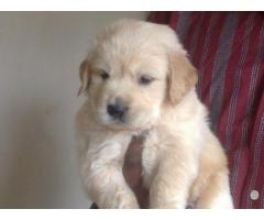 TOP QUALITY SHIH TZU PUPPIES AVAILABLE FOR SALE IN DELHI@ 9911293906