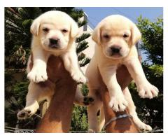 Top quality labrador pups.
