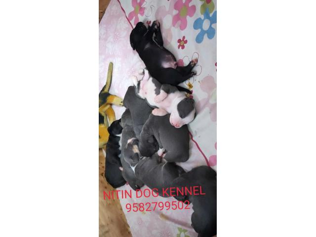 American bully , Pitbull full  heavy bone puppy in Delhi 9582799502