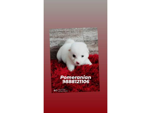 Pomeranian puppy buy and sell call 9888121106