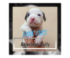 American Bully Male puppy, Single male available at Jalandhar city