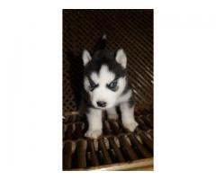 TOP QUALITY SIBERIAN HUSKY PUPPIES AVAILABLE FOR SALE IN DELHI@ 9911293906