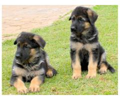 TOP QUALITY GERMAN SHEPHERD PUPPIES AVAILABLE FOR SALE IN DELHI@ 9911293906