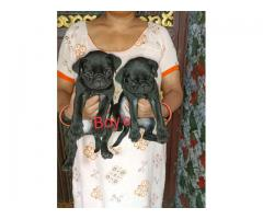 100%Guarantee Pure Breeds pug M/F Puppies Available Here.