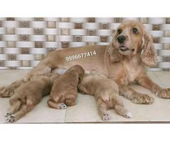 Show quality Cocker spaniel puppies available