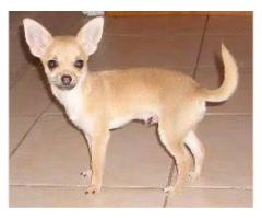 NEW LITTER SHOW QUALITY CHIHUAHUA PUP READY TO NEW HOME CALL 7065100447