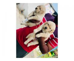 Heavy bon affordable price Chihuahua puppies are available in Delhi NCR 9555944924