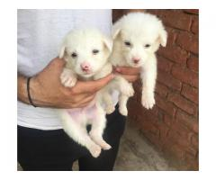 Heavy bon affordable price Pomeranian puppies are available in Delhi NCR 9555944924