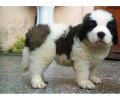 Heavy bon affordable price Saint Bernard puppies are available in Delhi NCR 9555944924