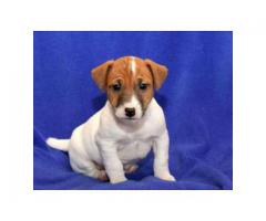 Jackrussell terrier puppy for sale at Best Price Range in Delhi NCR