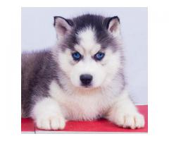 Rare breed blue eyes husky available for dog lovers 8368241911..….....s