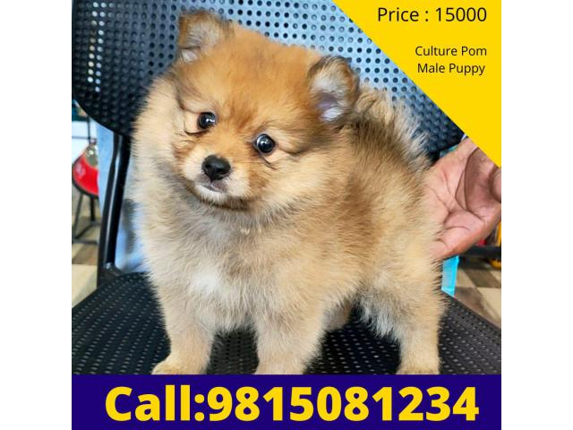 Orange Culture POM Male Puppy Available For sale in Chandhigarh. CALL:9815081234
